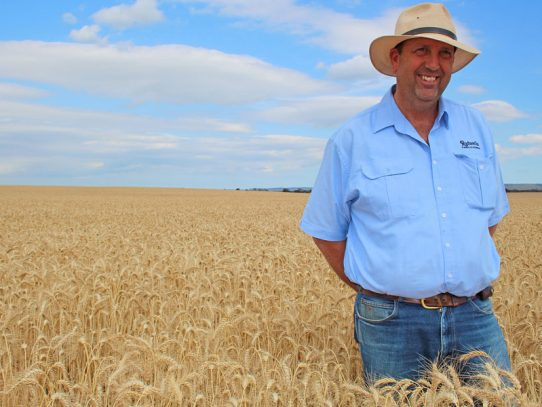Gippsland farmer trials bread wheat for cows