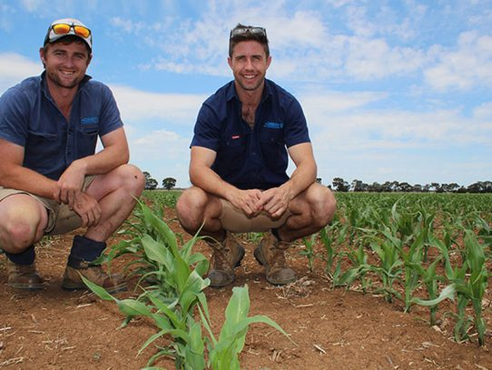 Corn goes from opportunity crop to regular crop at Echuca