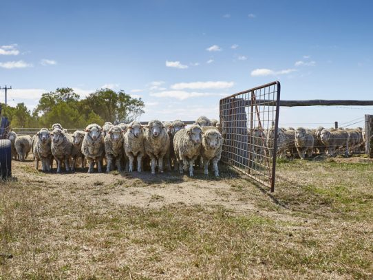2018 McLennan-McColl Victorian Flock of the Year