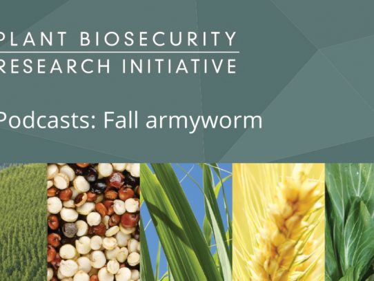 Podcasts for fall armyworm management options in Australia's north